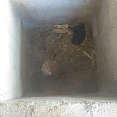 云南文山大竹鼠 2-4斤