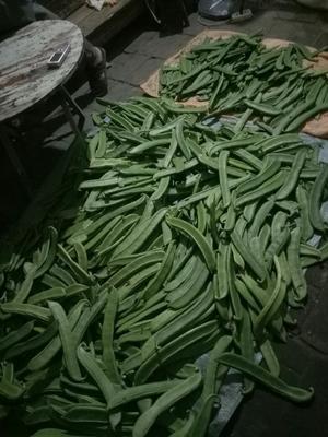 广西桂林灵川县蔓生刀豆 15-20cm