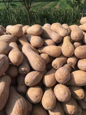 福建宁德甜美南瓜 6~10斤 长条形