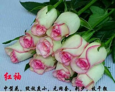 云南昆明四季玫瑰