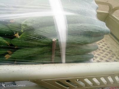 天津密刺黄瓜 18~22cm 干花带刺