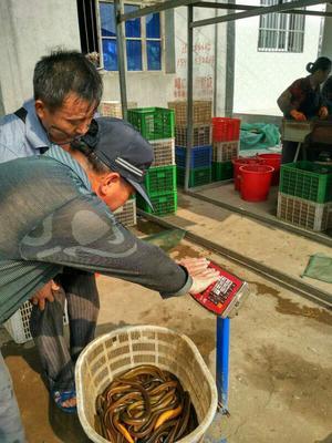 湖北荆州野生黄鳝 野生