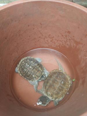 云南临沧拟鳄龟 30-50cm 4-6斤