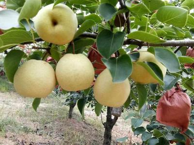 陕西西安砀山酥梨 250-300g 80mm以上