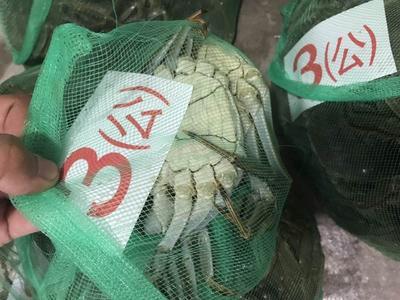 湖北荆州洪湖螃蟹 2.0-2.5两 母蟹