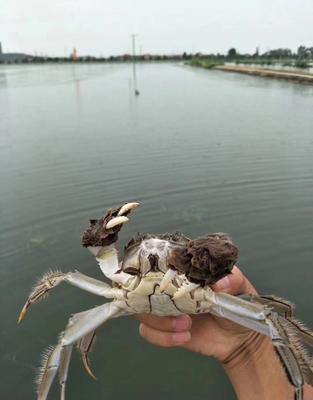 江苏扬州兴化螃蟹 2.5-3.0两 统货