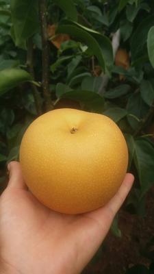 这是一张关于秋月梨 85mm以上 350-400g的产品图片