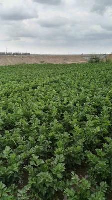 宁夏回族自治区中卫市海原县宁夏西芹 60cm以上 露天种植 2.5~3.0斤
