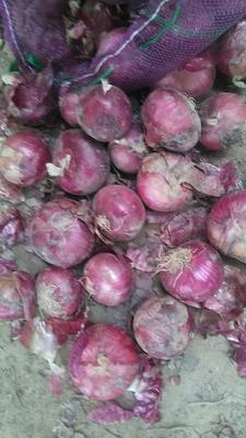 山东济宁紫皮洋葱 8cm以上 4两以上 紫皮