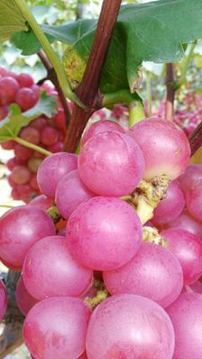 这是一张关于巨峰葡萄 1 - 2斤 5%以下的产品图片