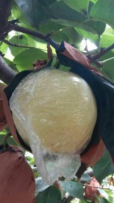 山东临沂水晶梨 80mm以上 200-250g 黄金梨批发哪里便宜 黄金梨产地直销