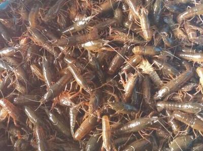 这是一张关于龙虾苗 虾苗的产品图片