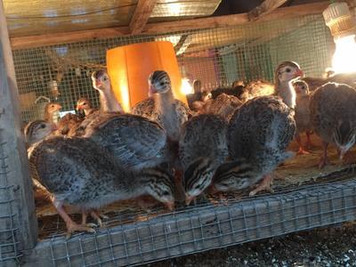 湖南邵阳银斑珍珠鸡 2-4斤