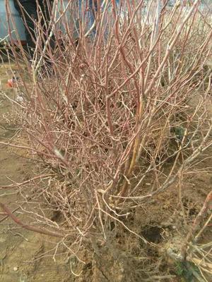山东临沂矮丛蓝莓苗