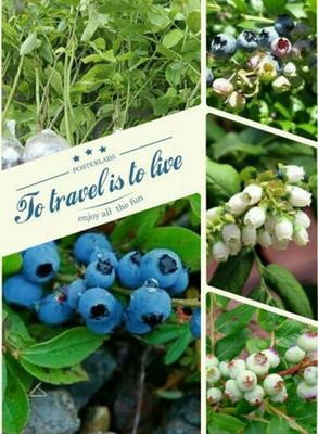 山东泰安美登蓝莓苗