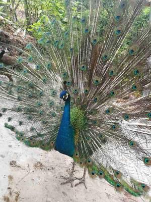 四川达州蓝孔雀
