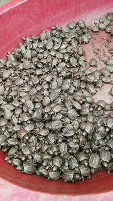 江苏扬州中华草龟 5-10cm 0.5斤以下