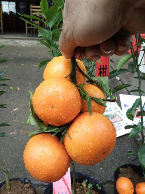 沃柑苗 嫁接苗 0.35~0.5米