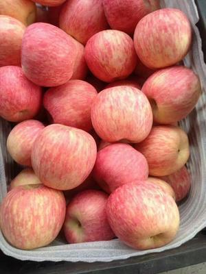 山东淄博红富士苹果 纸袋 条红 80mm以上 苹果红富士苹果