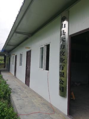 重庆黑山羊 50-80斤 长期供应努比亚黑山羊、秀山本地黑山羊