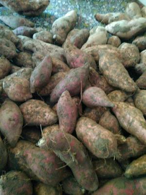 广东阳江紫板薯 2-5两