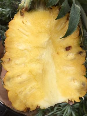 广西崇左金菠萝 1.5 - 2斤