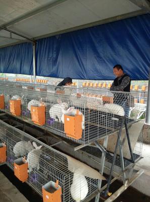 江苏徐州獭兔种兔 5斤以上 獭兔种兔兔子 兔子养殖 獭兔行情獭兔价格獭兔饲料獭兔兔笼