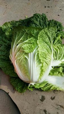 河北张家口黄心大白菜 3~6斤 净菜
