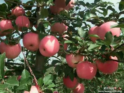 这是一张关于红星苹果 75mm以上 片红 纸袋的产品图片