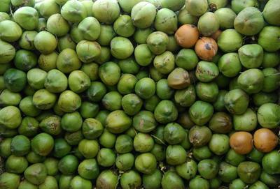 海南陵水高种椰子 6斤以上