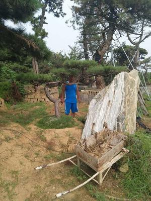 江苏常州造型景观树