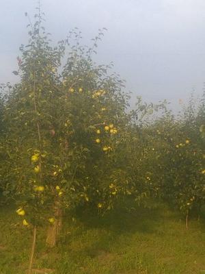 这是一张关于酥梨 70 - 75mm 200-250g的产品图片