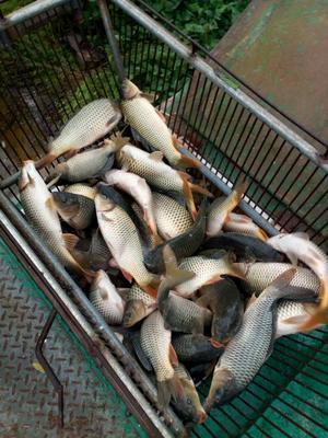安徽淮北池塘鲤鱼 0.5-3公斤 人工养殖