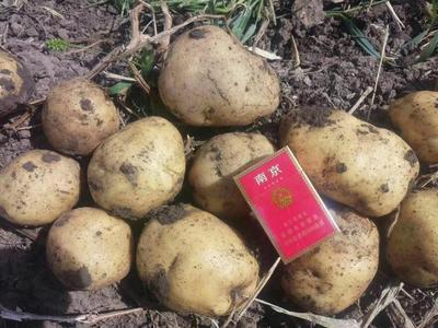 黑龙江省绥化市北林区荷兰15号土豆 1两以上