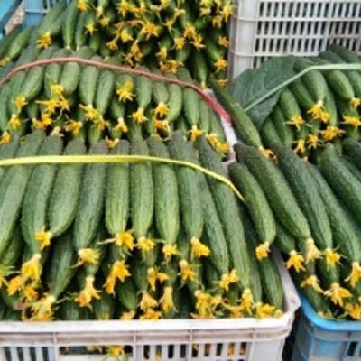 这是一张关于密刺黄瓜 25~30cm 鲜花带刺的产品图片