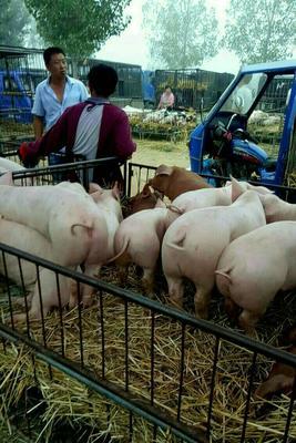 这是一张关于外三元仔猪 仔猪批发,苗猪批发,仔猪供应,仔猪价格的产品图片