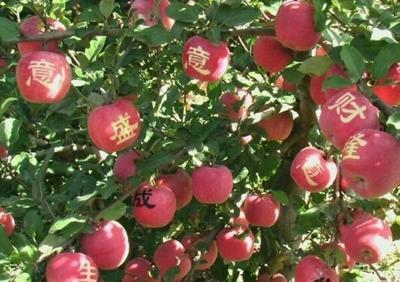 这是一张关于烟富8号苹果树苗 1~1.5米的产品图片