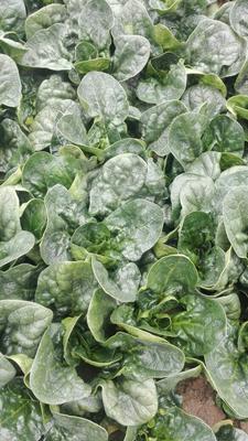 陕西西安秋菠菜 15~20cm