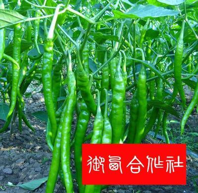 江苏宿迁青线椒 15~20cm 中辣