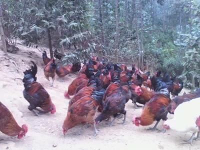 云南红河鸡肉 1个月 生肉