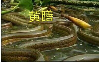 广东佛山正大9号黄鳝苗