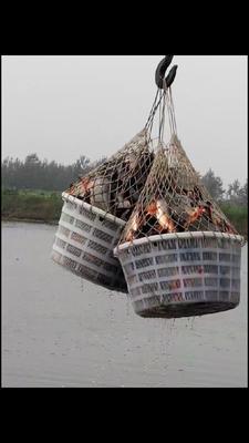 安徽蚌埠白鲳 人工养殖 1-1.5公斤