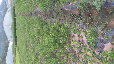 四川雅安汉源县柑树苗 0.5~1米