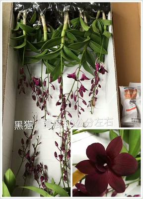 广东湛江铁皮石斛