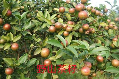 福建三明野生山茶油