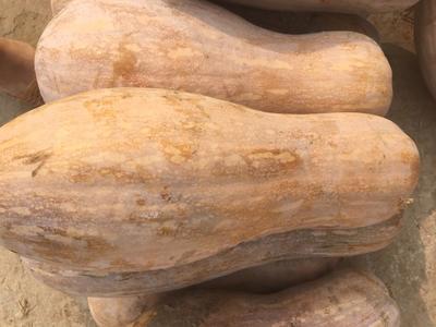 湖南省岳阳市君山区金瓜 0.7~1.0斤 长条形 金色南瓜 0.7~1.0斤 长条形