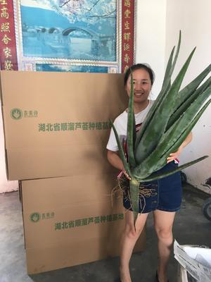 湖北武汉库拉索芦荟 20cm以上