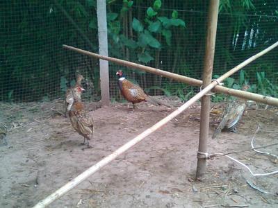 四川省宜宾市南溪区七彩山鸡 2-3斤