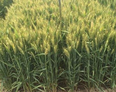 河南漯河富硒小麦