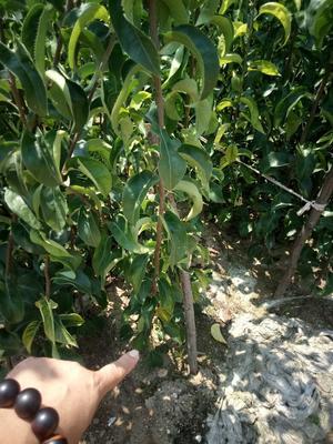 这是一张关于晚秋黄梨苗 1~1.5米的产品图片